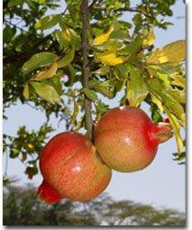 פרי הרימון